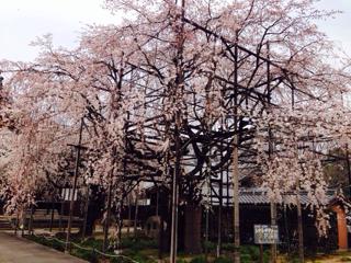 春便りは行福寺のシダレザクラから。。。