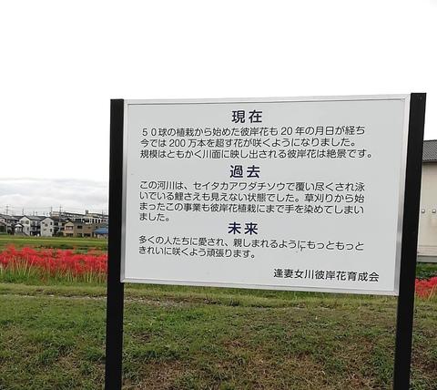 初めて彼岸花を見に (豊田市逢妻女川)