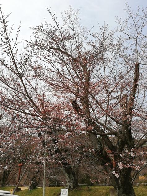 【2019 水源桜まつり開催中①】本日の開花情報、駐車場情報、ライトアップ、満開予想