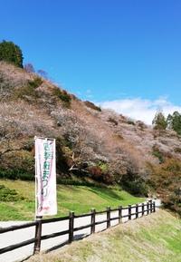 小原四季桜まつりもうすぐ開催!今、川見(せんみ)の四季桜は3分咲き!