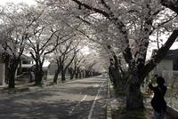 桜見にゆく、豊田高専前〜西山公園へ。いつもの通勤路を迂回してはいかが? 2010/04/03 22:11:43