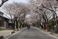 豊田市の桜のトンネル。知ってる?豊田高専と西山公園のあいだのね。 2008/03/31 10:02:34