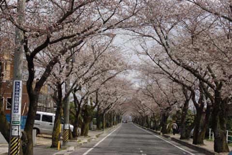 豊田高専と、西山公園の間にある桜並木