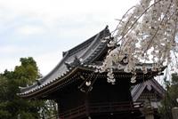 洞泉寺(豊田市)のしだれ桜② 風情があってよい・・ 2008/03/31 21:35:52