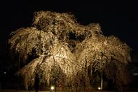 洞泉寺(豊田市)のしだれ桜③ 夜桜が幻想的に浮かび上がる・・ 2008/04/01 13:06:13