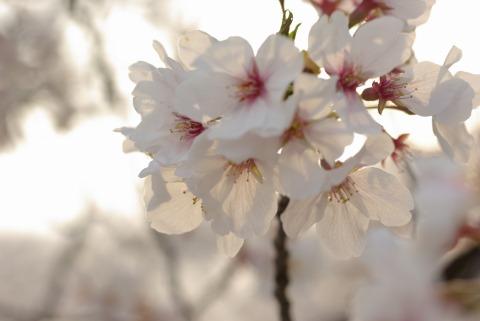 三好町「三好公園」での桜の写真