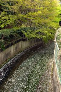 平戸橋桜祭り。前田公園そしてzizi工房のフランクフルト! 2008/04/23 21:10:19