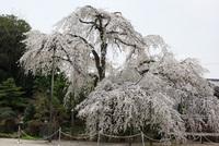 洞泉寺(豊田市)のしだれ桜① もう満開でした。 2008/03/30 17:14:36