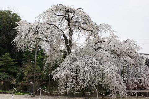 豊田市洞泉寺の枝垂桜
