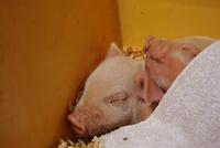 夢農人マルシェ 三州豚フェアレポ