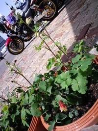 オダマキ植えた春分の日 2012/03/20 12:32:35