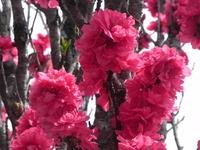 お花見だ✿ピンクナンバーだ✿家族ツーリング✿善住禅寺