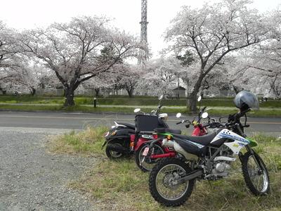 お花見だ✿ピンクナンバーだ✿家族ツーリング✿佐奈川堤