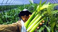 皮付きヤングコーン(ベビーコーン)の収穫