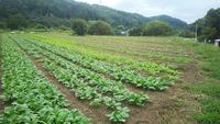 葉物野菜が育ってきてしまいまし…