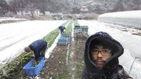 春の七草の収穫調整作業が始…