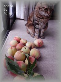 桃の収穫始まりました。