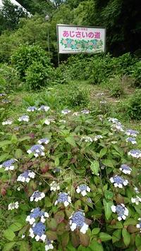 鞍ヶ池公園の紫陽花通り