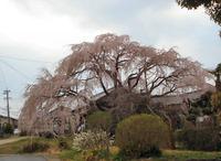 垂れ桜・・・春だねぇ~