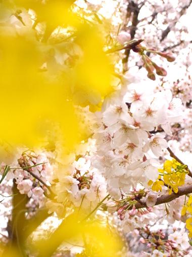 桜+菜の花+・・・