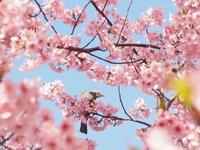 岡崎の葵桜