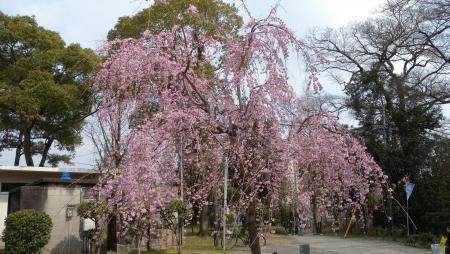 岡崎公園の早咲き桜三景