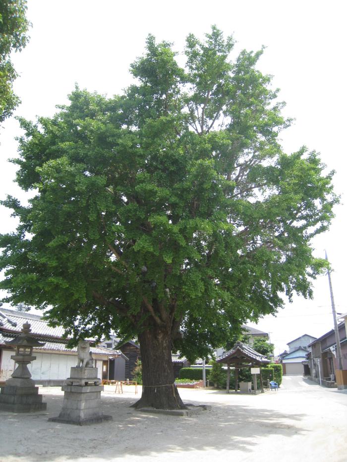 飛鳥神社の大いちょう@ふるさとの名木32