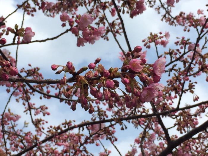 葵桜まもなく満開