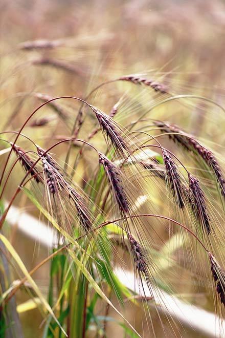 明日はむらさき麦まつり