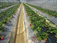 自然栽培イチゴ見学ツアー