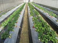 無門ハウスの自然栽培イチゴ