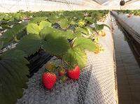 自然栽培イチゴ収穫できました