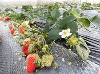 自然栽培イチゴで更に連携