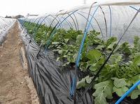 自然栽培畑も賑やかになってきました