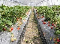 うどんこ病出ない自然栽培イチゴ