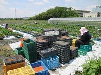 イチゴで農福連携