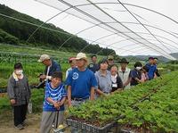 自然栽培イチゴ苗の葉かき