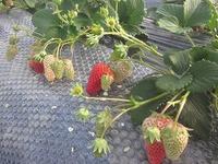 自然栽培イチゴ終わりでーす