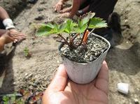自然栽培いちご定植