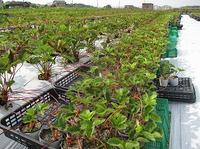 自然栽培イチゴ苗の山上げ