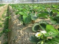 自然栽培イチゴの保温