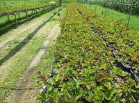 自然栽培イチゴ苗の様子