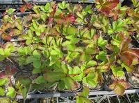 自然栽培イチゴ定植