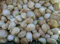 自然栽培サツマイモ堀り