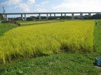 自然栽培稲刈り