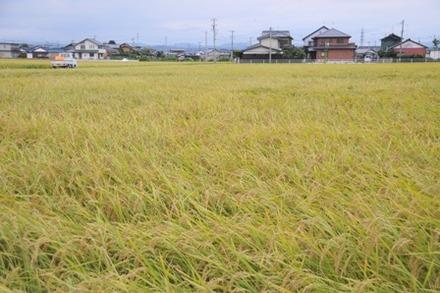 収穫期の田畑