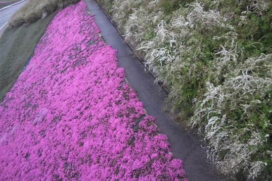 鮮やかな芝桜