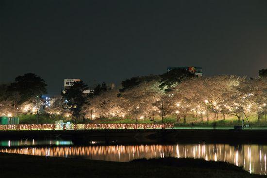 岡崎公園から夜桜を