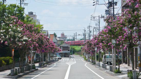 百日紅(さるすべり)の並木道