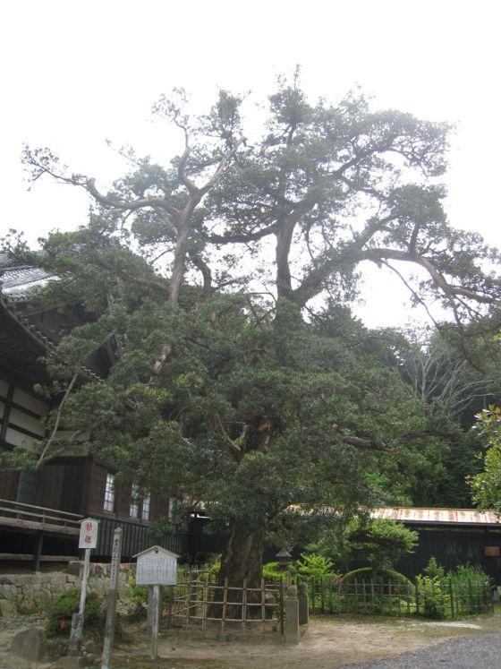 法蔵寺のイヌマキ(市指定天然記念物)ふるさとの名木14